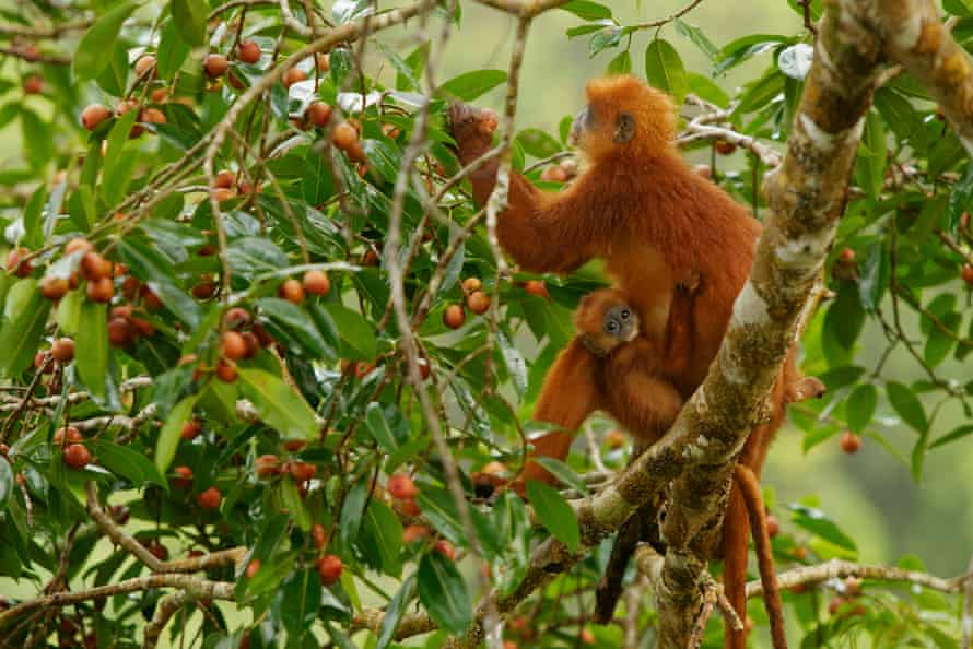 A red leaf monkey, Presbytis rubicunda, and her baby eating strangler figs in Borneo, West Kalimantan, Indonesia.