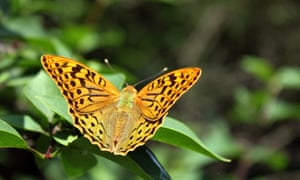 Silver washed Fritillary butterfly on leaf