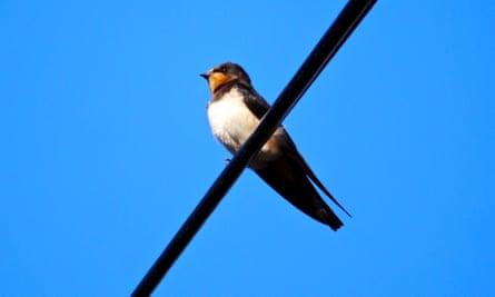Like a clothes peg on a washing line, a swallow waits