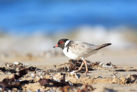 Banded adult