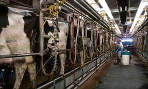 The milking facility at the Schaap's Highland Dairy.