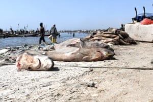 Sharks killed for their fins are left to rot in Hann Bay, Senegal