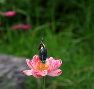 A kingfisher chick rests on a lotus flower in Yuyuantan Park, Beijing, China