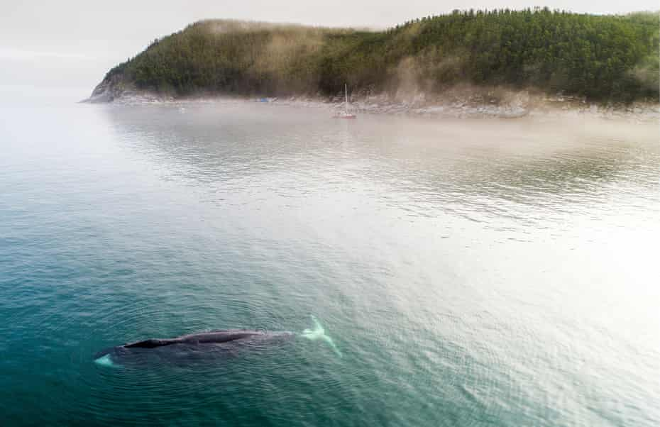 A bowhead whale in Vrangel Bay, off the Russian Pacific coast. The species were nearly hunted to extinction by the turn of the 20th century.