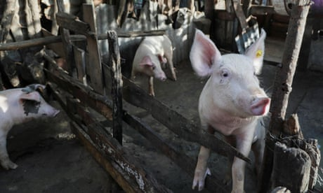 A pig looks out from its enclosure