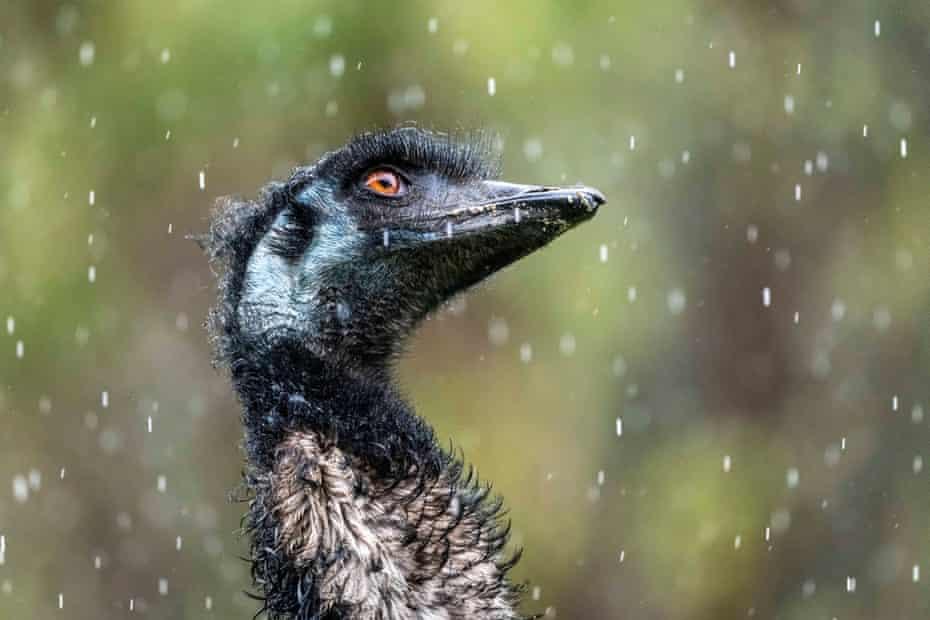 As the rain falls at The Otways (Victoria, Australia), an emu (Dromaius novaehollandiae) from Wildlife Wonders looks up to the sky, watching.