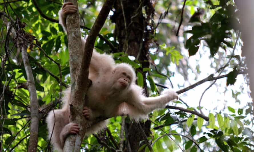 Alba, the only albino orangutan ever recorded in the world, has now been released in the National Park in Central Kalimantan.