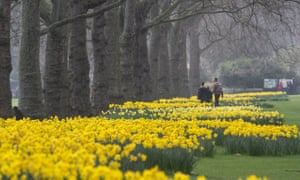 Daffodils in bloom in St James's park, London