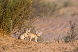 Fennec pups photographed while playing out of the den in full daylight.