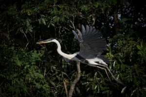 The cocoi heron, the largest of the South American heron species, can often be seen along rivers, streams, marshes, or even agricultural waterways as it forages for fish, frogs and other prey.