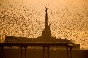 A flock of starlings flies around Aberystwyth's war memorial at dusk