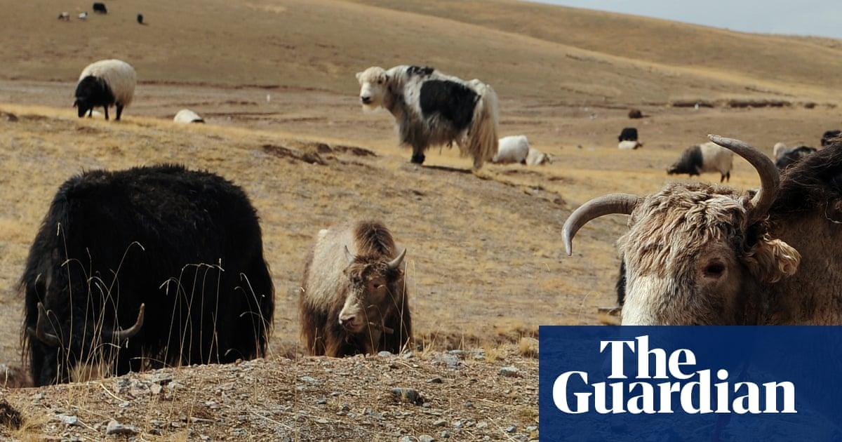 Yak politics: Tibetans' vegetarian dilemma amid China meat boom