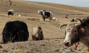 Yaks and sheep graze on grasslands in the Tibetan autonomous prefecture of Hainan.