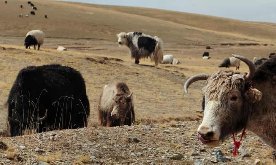 Yaks and sheep graze on grasslands in the Tibetan autonomous prefecture of Hainan.