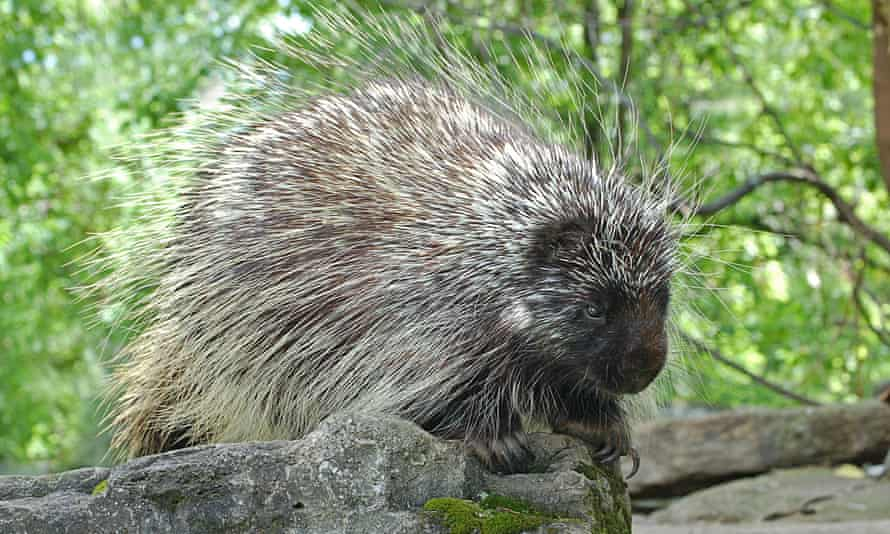 A Canadian porcupine.