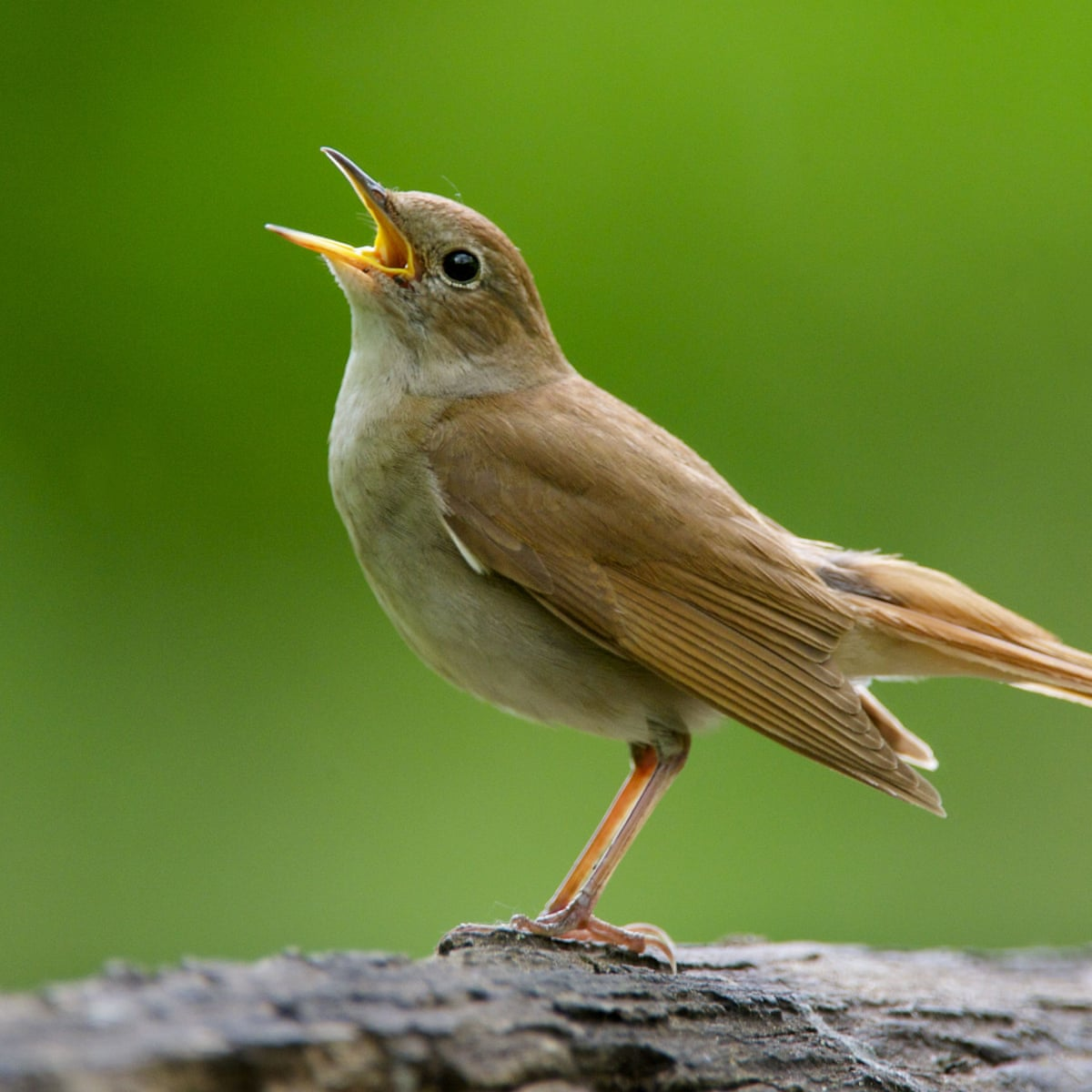 Nightingales at risk due to shorter wings caused by climate crisis ...