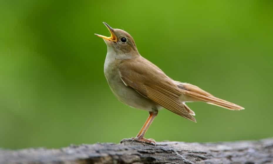 Nightingale adult, singing, standing on log in woodland