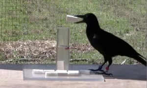 a rook dropping objects into a tube of water