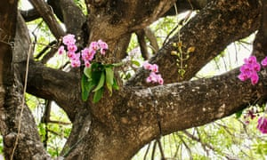 Epiphytic orchids cling to trees.