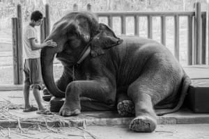 The Trust of the Matter: an elephant being treated at the Friends of the Asian Elephant Hospital in Thailand