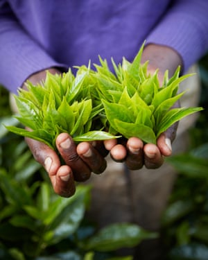 A tea farmer with hands full of tea leaves.