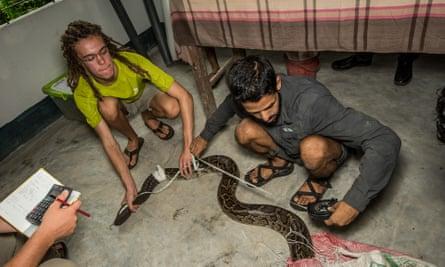 Researchers taking measurements of Burmese python.
