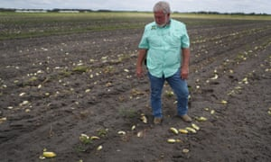 Hank Scott, president of Long & Scott Farms in Florida, stands in a field of rotting cucumbers that he was unable to havest due to lack of demand.