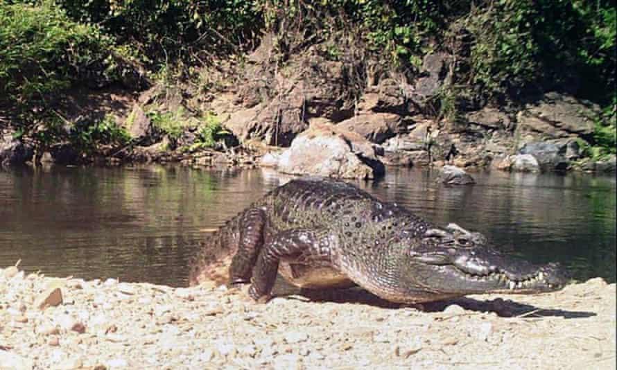 A freshwater Siamese crocodile at Kaeng Krachan National Park in Phetchaburi province, Thailand.