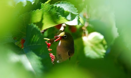 Silvereye, Zosterops lateralis, feeding on mulberries in Canberra, Australian Capital Territory.