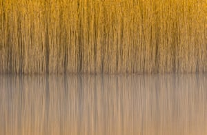 """Steve Palmer, botanical Britain category winner: Reeds, Lindow Common, Wilmslow, Cheshire""""I'd always been fascinated by the almost abstract patterns and reflections of these common reeds, but the conditions had never been perfect, despite numerous visits. However, on this morning the water was still and the light was soft and I was able to capture the image I was after."""""""