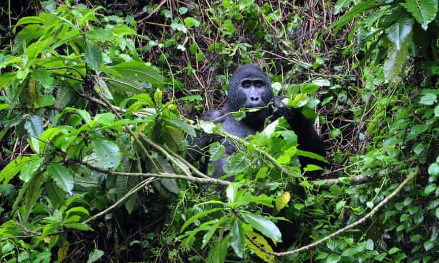 A male mountain gorilla in Bwindi Forest, Uganda.
