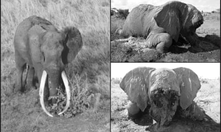 The Tsavo Trust posted on Facebook: 'With great sadness, we report the death of Satao, one of Tsavo's most iconic and well-loved tuskers … No longer will Tsavo and Kenya benefit from his mighty presence.'