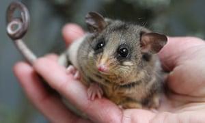 The mountain pygmy possum