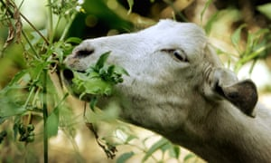 The Nevada City council sees goats as a first wave to tackle problematic vegetation, with humans following up to clear away larger foliage before the wildfire season.