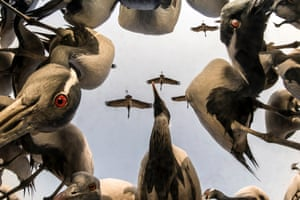 A low-angle view of cranes in the village of Khichan in Rajasthan, India, after the photographer Yashpal Rathore buried his camera in the ground underneath scattered grain to capture the birds feeding. Thousands of migrating cranes land Khichan, flying from the east