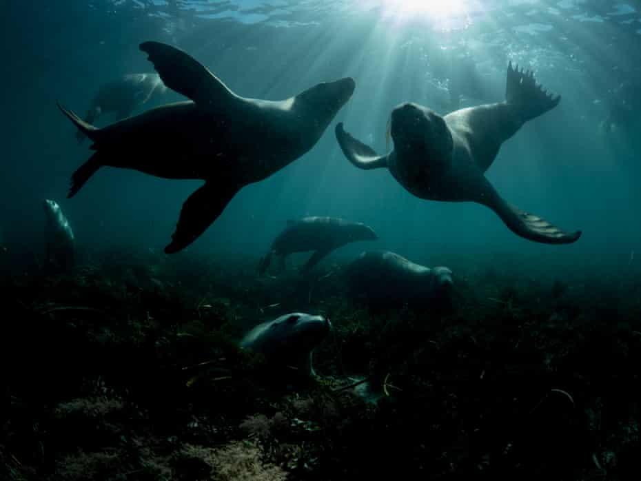 Sea lions around Hopkins Island, South Australia