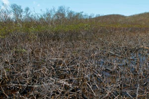 Mangroves damaged by Hurricane Maria at the Cabezas de San Juan reserve in Puerto Rico