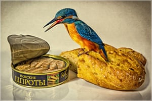 A kingfisher appears to enjoy a can of sprats