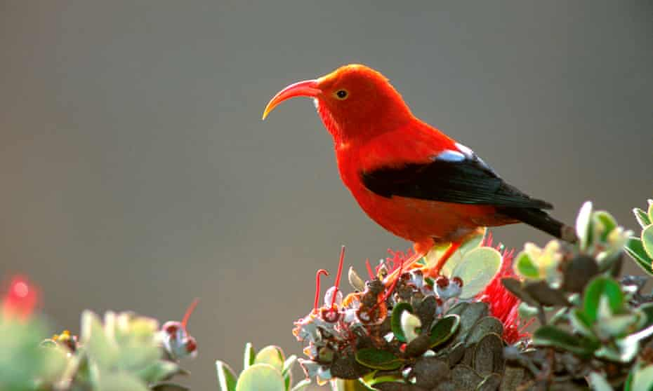 Work by one Landscape Conservation Cooperative helped the i'iwi, an endemic Hawaiian honeycreeper, listed as 'threatened' under the federal Endangered Species Act.
