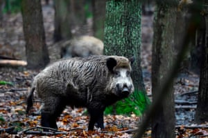 Wild boars at an enclosure set up by forest rangers in a northwestern district of Berlin