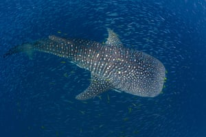 """'Whale sharks are fully capable of swimming across oceans, but it seems like the juveniles, at least, are choosing not to,' said Dr Simon Pierce, principal scientist at the Marine Megafauna Foundation and a study co-author. """"They like coming back to the same sites each year to take advantage of predictable feeding opportunities. Looking on the bright side, that emphasises that local protection can have a major benefit for the recovery of this endangered species.'"""