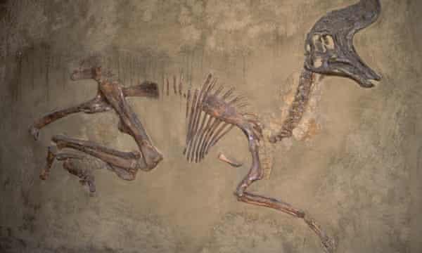Lambeosaurus cretaceous fossil