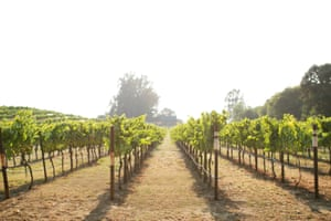 A Napa Valley chardonnay vineyard.