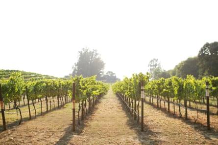 A Napa Valley chardonnay vineyard.
