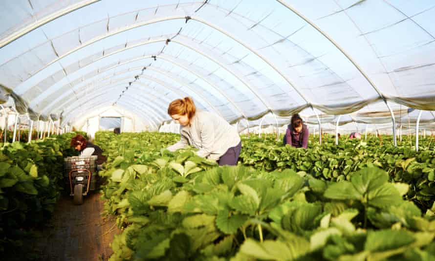 Workers picking strawberries in a polytunnel