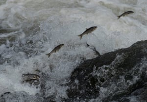 Pearl mullets, an endemic fish species found only in Van Lake in Turkey, jump up on their way through a waterfall during their spring migration