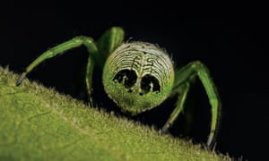 The fabulously named Alien Butt Spider or more commonly Outstanding Orb-weaver