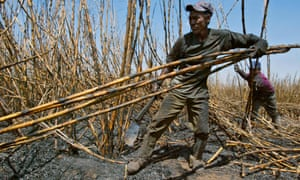 Workers collect sugar cane at a plantation