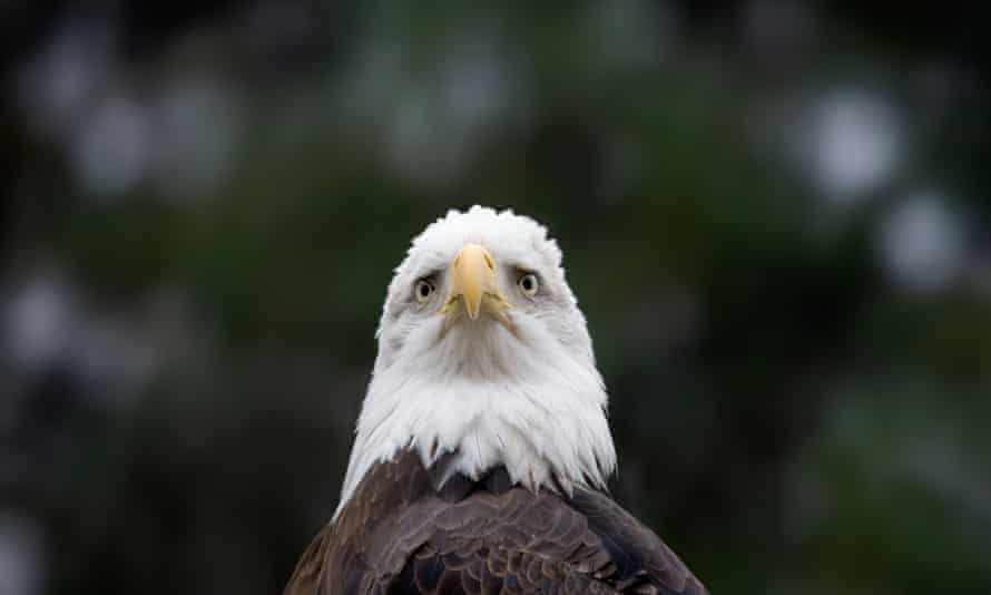 One conservationist said: 'We shouldn't be killing our national symbol because we're too lazy or too concerned with past types of ammunition to switch.'