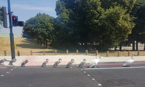 A family of swans crosses the road in London